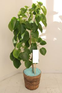 Ficus umbellata with basket