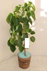 Ficus umbellata with basket