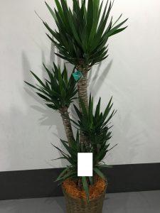 ユッカ・幸福の木 with basket